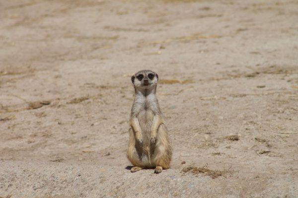 Zoo de Lisbonne - Suricate