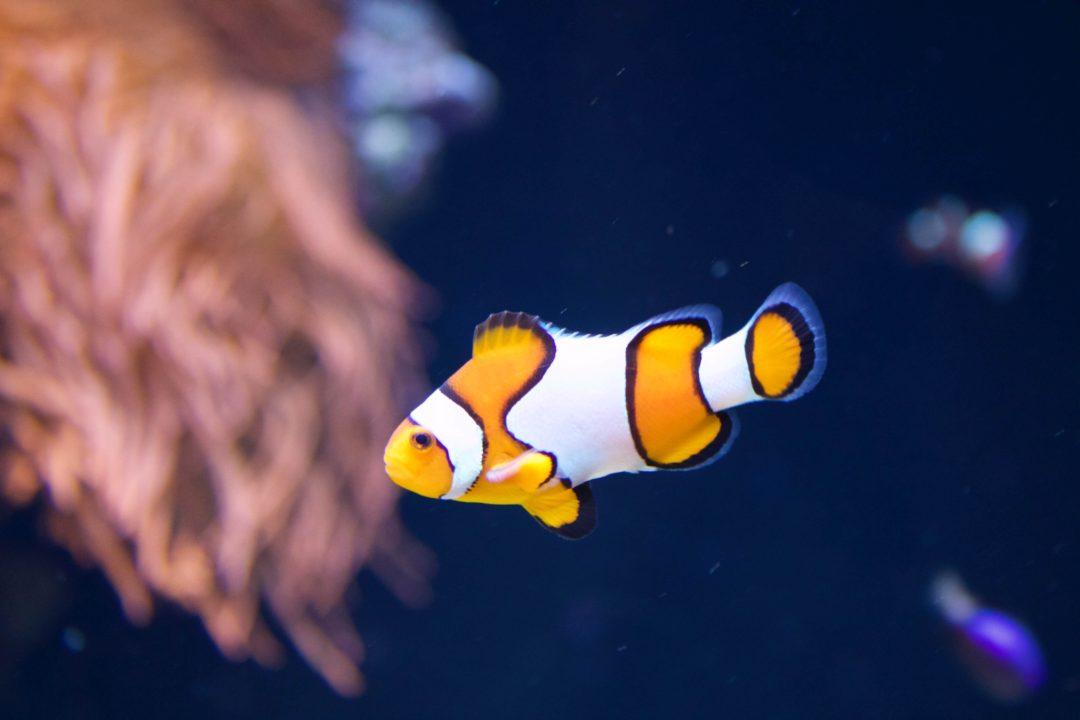 Oceanarium de Lisbonne - Poisson clown