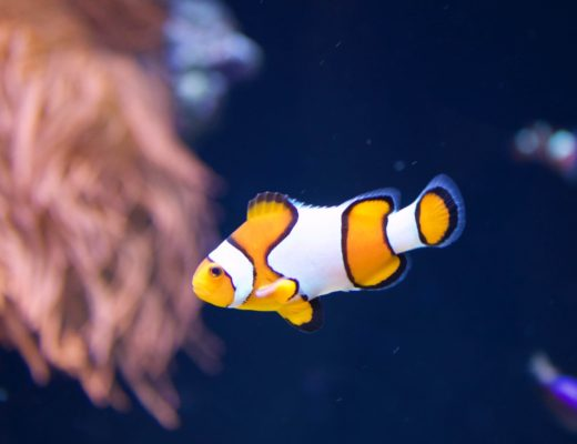 Oceanarium de Lisbonne - Poisson clown