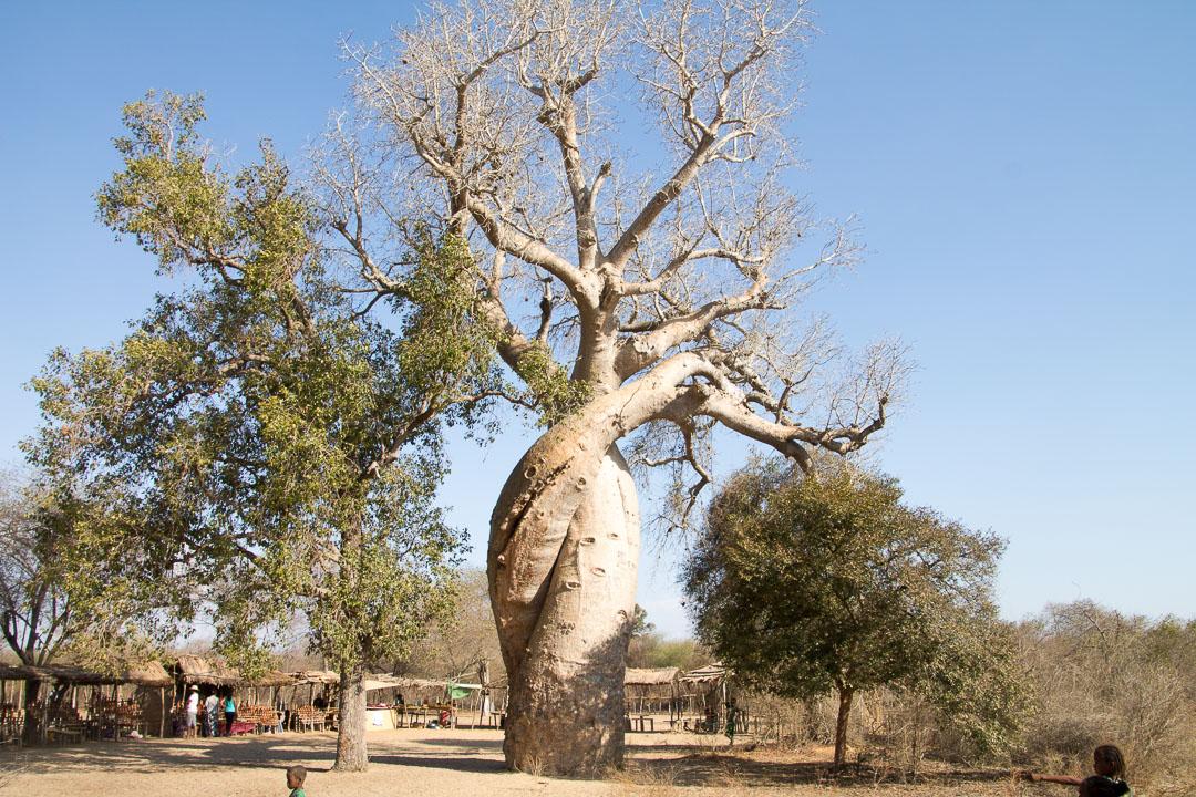 Madagascar Baobabs amoureux