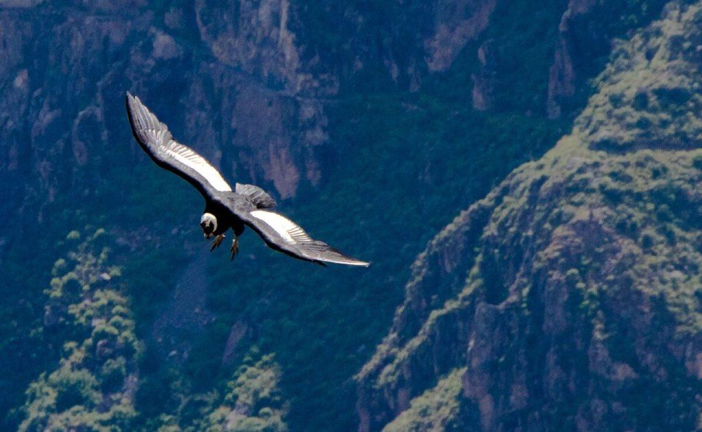 Perou : vol de condor