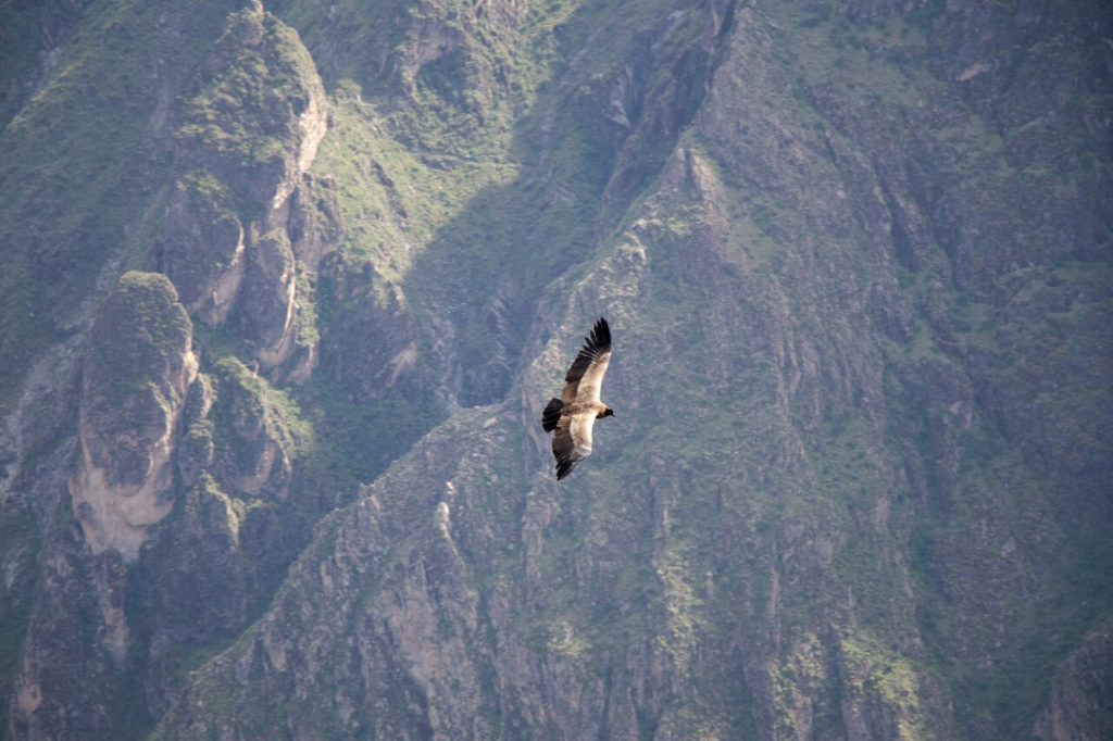 Canyon de Colca : vol de condor